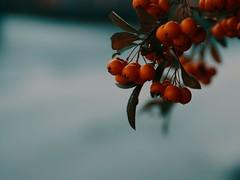Fruit Nature Bokeh - Tarbek - Schleswig-Holstein  - Germany (torstenbehrens) Tags: fruit nature bokeh tarbek schleswigholstein germany yi technology m1 17 objekte sigma 1850mm f28 dc
