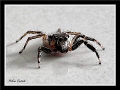 araignée sauteuse (jumping spider) (hcortade) Tags: araignéesauteuse jumpingspider spider araignée arachnide arachnid arthropode thaïlande samui ile voyage travel gris grey coth5 outside dehors nature