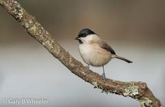 Marsh Tit (Ponty Birder) Tags: g b wheeler garywheeler pontybirder birds gloucester england poecilepalustris snow marshtit forestofdean inexplore