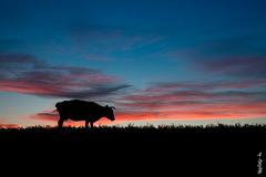 After sunset... (N.Batkhurel) Tags: season summer sky sunset clouds cow animals ngc nikon nikondf natur nikkor silhouette 24120mm mongolia