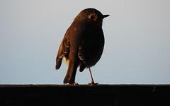 Pettirosso (ddgp) Tags: robin bird oiseaux inverno winter