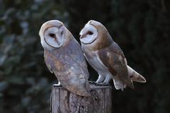DSC_3167 (Leechy8) Tags: barn owls barnowl unique feeding