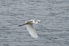 Silberreiher (Corinna John) Tags: casmerodiusalbus egrettaalba ardeaalba silberreiher reiher egret white silver water flying fly