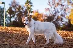50/52 Nadja (utski7) Tags: 52weeksfordogs nadja dog fall2018 golden seniordog leaves