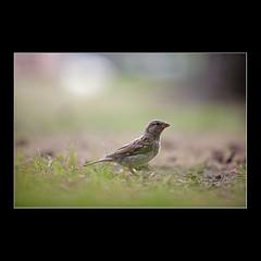 The Curious Sparrow (KoenK68) Tags: sparrow bird grass dof curious canon ©koenk68