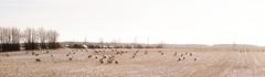 2012-01-30 um 13-18-10 - Pano Landschaft - Schafe - Tarbek - Schleswig-Holstein - Deutschland (torstenbehrens) Tags: merge panoramas on1 photo raw 2018 2019 20120130 131810 pano schafe tarbek schleswigholstein deutschland olympus epl1 landschaft um