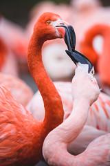 Flamingo (Soren Wolf) Tags: flamingo flamingos zoo prague bird birds nikon d7200 300mm red pink short depth field dof