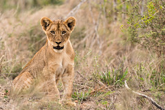I just can't wait to be King (pranav_seth) Tags: kruger southafrica wildlife wildafrica lion africanlion leo cub lioncub
