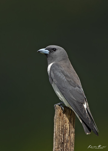 The white-breasted woodswallow