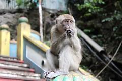 Asia - Malaysia - The Gollum Monkey (simon.j.prs) Tags: gollum monkey malaysia batu caves greed greedy eyes crazy ring food desire wicked shiny kuala lumpur asia south east backpacking