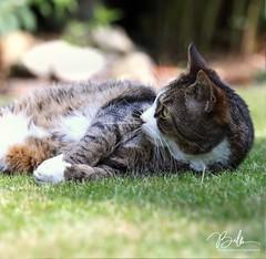 LAZY (babsbaron ( Bella )) Tags: nature tiere animals mammals säugetiere cats katzen katzenartige jäger hunter hauskatze canon