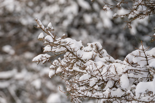 Snow Covers the Boughs of Our Conifer