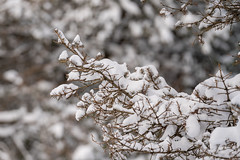 Snow Covers the Boughs of Our Conifer (John Brighenti) Tags: snow snowstorm storm accumulation white winter january rockville maryland md twinbrook cleanup shoveling sony alpha a7rii ilce7rm2 sel70200gm snowmageddon trees branches brown green bokeh pine conifer needles bough branch sticks