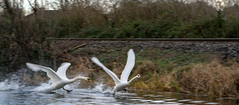 FIGHTING SWANS [ ROYAL CANAL BETWEEN BROOMBRIDGE AND ASHTOWN]-148330 (infomatique) Tags: birds swans fight wildlife nature water canal royalcanal canalwalk sony a7riii batis zeiss 135mmlens williammurphy infomatique fotonique ireland
