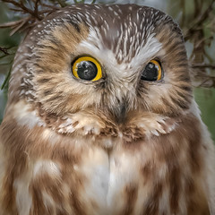 Those Eyes (Kevin E Fox) Tags: sawwhetowl owl raptor eyes bird birding birdwatching birds birdofprey sigma150600sport sigma nature nikond500 nikon newjersey