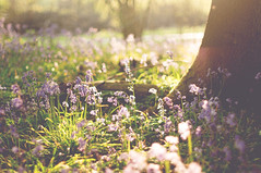 Warmth around the corner... (ross.colgan) Tags: bluebells blue bell spring flowers sunlight light sun field pretty beautiful lensflare pentax pentaxm smc 50mm f14 dof bokeh uk shere village forest woods trees soon tree roots grass floor shine warm colours explored nature natural wild sunset
