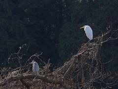 Grey heron (Ardea cinerea, アオサギ) and great egret (Ardea alba, ダイサギ) (Greg Peterson in Japan) Tags: ritto 栗東市 滋賀県 wildlife ダイサギ ono japan birds 野鳥 アオサギ shiga shigaprefecture