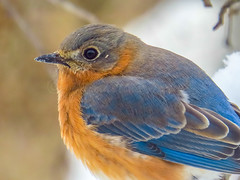 My Close-up! (Shannonsong) Tags: sialiasialis bluebird female songbird aves winter closeup cold nature wildlife