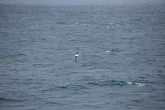IMG_0213 (y.awanohara) Tags: humpbacks humpbackwhales whales whale southgeorgia scotiasea january2019 wildlife cetacean