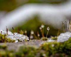 Miniature icy landscape (dsgetch) Tags: moss mossy ice icy snow waterdroplet winter bokeh bokehlicious depthoffield dof mybackyard cascadia pacificnorthwest pnw pnwlife pnwwonderland oregon willamettevalley lanecounty eugeneoregon