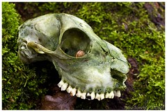 Skull Roe Deer (Boudewijn Olthof) Tags: skull roedeer roe deer nature capreolus chevreuil snail eye green nikon 50mm d700 boudewijnolthof life death spring