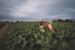 Mango (thills1988) Tags: dog puggle pug beagle woods woodland fields outdoor