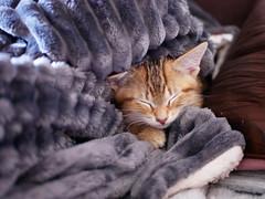 Sleepy (An Arzhig) Tags: cat chaton kitty dormeur sleepy pet panasonic lumix gx800 50mm