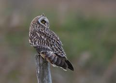 Short-eared Owl (asio flammeus) (Steve Ashton Wildlife Images) Tags: short eared owl shorteared shortearedowl raptor bird birdofprey prey asio flammeus asioflammeus