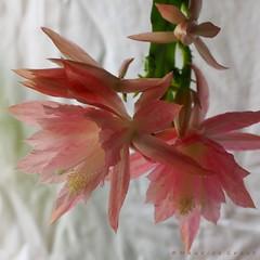 Epiphyllum (Maurice Grout) Tags: epiphyllum epiphyllumflower pinkflower cactus cactusflower orchidcactus