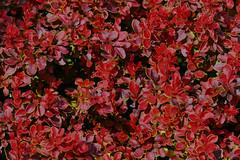 20160612_P1060426 (RudiMag - Describe your pictures please!) Tags: krzewy bush