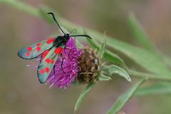 6 spotted Burnet Moth on Thistle at Portsdown Hill Chalk Pit (Art-G) Tags: insect 6spottedburnetmoth portsdownhill chalkpit portsmouth hampshire uk canon eos7dmkii 100400lisusm bokeh flower pink wildflower thistle