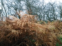 20181125_102251 (Stitchinscience) Tags: fern bracken yellow autumn