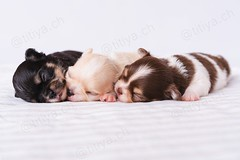 Cute chihuahua puppies sleeping (indycamera) Tags: animal baby background bed black blanket breed brown canine chihuahua cute dog domestic friend funny good group home husky little mammal pet puppies puppy sleep sleeping sleepy small sweet three toy white young