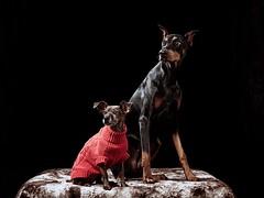 Dobby and JC (Bobby Acree) Tags: dogportrait doberman dobermanpinscher dog italiangreyhound portrait