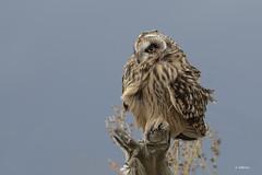 Short-eared Owl / Hibou des marais (shimmer5641) Tags: asioflammeus shortearedowl hiboudesmarais búhocampestre owl hibou búho raptor birdofprey