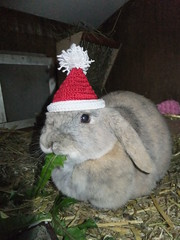 """""""Okay, me will wear the hat, but only till I finish this dandelion leaf."""" (eveliensbunnypics) Tags: bunny rabbit lop lopeared polly christmas hat christmashat crochet crocheted hutch cottage winter dadelion leaf leaves greens eating nomming nom noms"""