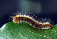 Hairy (siralexfrost) Tags: caterpillar closeup hairy insect macro worm
