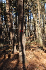 The light path or the dark path? (Vox Sciurorum) Tags: trailmarker tree woods lincoln massachusetts canon2470