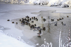 Chilling Ducks (samaelsworkshop) Tags: ifttt 500px lake wading water standing riverbank floating freshwater pond shallow iceberg river waist deep swan sport vacations seabird rippled red billed teal duck inflatable raft ruddy frozen splashing ice bird swimming snow capped snowcapped expanse dramatic landscape vast