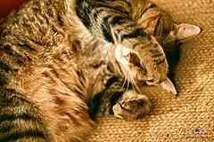 Life is so Rough (1300 Photography) Tags: nikon z6 50mm 14 wideopen affinity affinityphoto cat cats feline pet pets petportrait