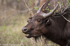 Cape Buffalo (Steve Clarridge) Tags: capebuffalo buffalo mammal animal africa