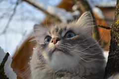 Мармеладный носик,голубые глазки ...! (Angelok-Happy) Tags: зима снег котикрикки голубыеглазки мармеладныйносик snow winter catrick snowflakes walk marmaladenose mustache blueeyes