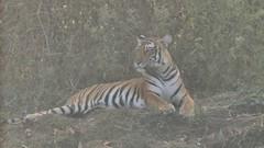 Million yards (Nagarjun) Tags: nagarholenationalreserve riverkabini karnataka forest wildlife animals tiger tigress bigcat