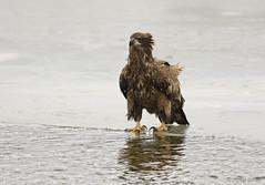 (philsfotos1) Tags: baea19 great lakes american bald eagle 2019