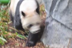 20190101-DSC_3773 (Beothuk) Tags: calgary zoo new years day 2019 giant panda indoor