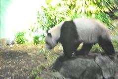 20190101-DSC_3760 (Beothuk) Tags: calgary zoo new years day 2019 giant panda indoor