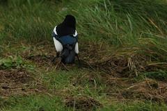 IMG_5016 (monika.carrie) Tags: monikacarrie magpie wildlife scotland aberdeen