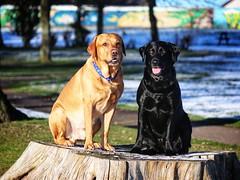 The Boys (julz.adams) Tags: handsome scotland aberdeen boys beautiful getty pets labrador dog dogs