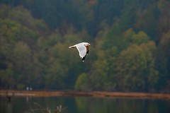 Nisqually National Wildlife Refuge, WA (tommikeyes) Tags: forest pugetsound washington nature seagull nisquallynwr