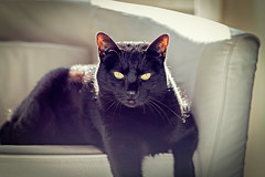 Pepe (Pepenera) Tags: cat cats gatto gato gatti black blackbeauty blackcat portrait